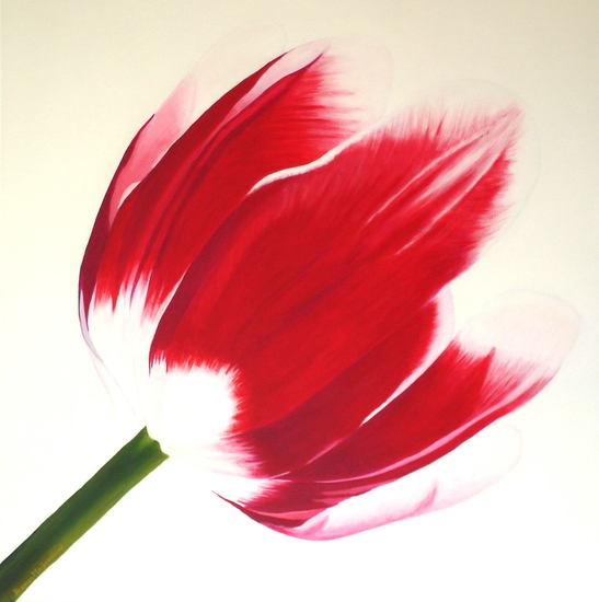 rood witte tulp
