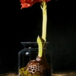 Amaryllis in glass jar