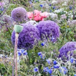 'Gobelin' with Allium