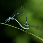 Waterjuffers (Zygoptera)