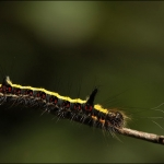 Psi-uil (Acronicta psi)