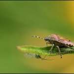 Bessenwants Dolycoris baccarum