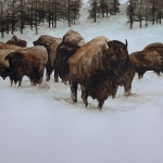 Bisons Yellowstone National Park, winter scene 4