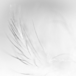Feather in white