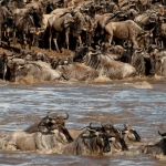 De crossing, Mara River, Kenia