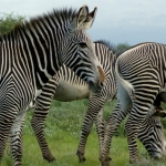 Grevy zebra's in Buffelo Springs, Kenia