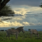 Grevy zebra's in Buffelo Springs, Kenia.