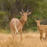 Hunter's Hartebeest, Tsavo-West, Kenia.