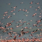 Flamingo's in de vlucht, Lake Nakuru, Kenia.