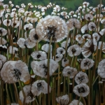 White Dandelions in a Green Field