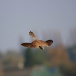 Kestrel Diving