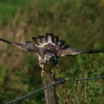 Common Buzzard Action