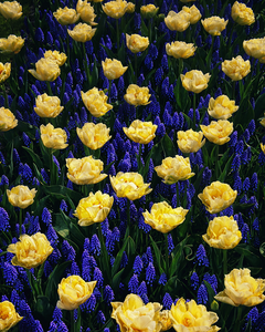 Flowers. Some works from Keukenhof that also known as the Garden of Europe, is one of the world's largest flower gardens, situated in the town of Lisse, in the Netherlands.