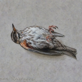 Still life with redwing