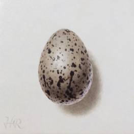 Oystercatcher egg
