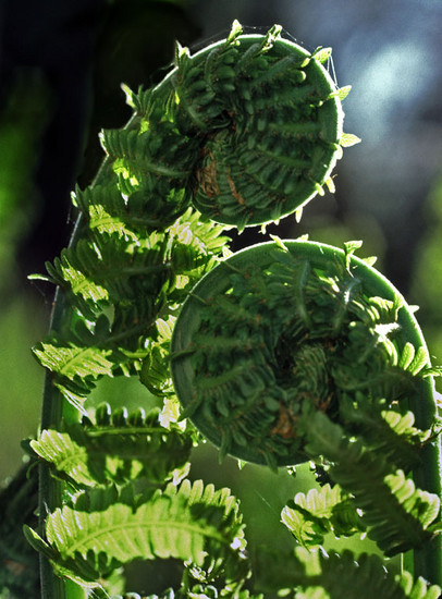 Ferns in love