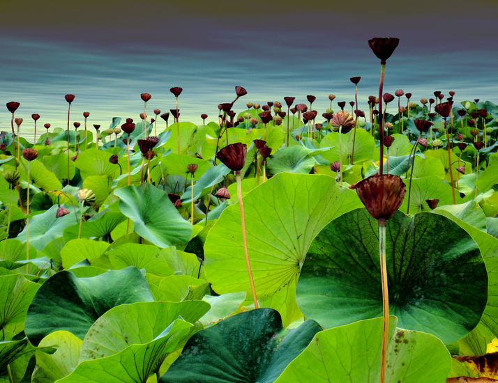 Sea of Lotus
