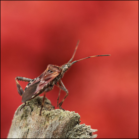 Bladpootwants (Leptoglossus occidentalis)