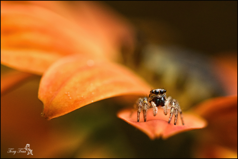 springspin (Salticidae)
