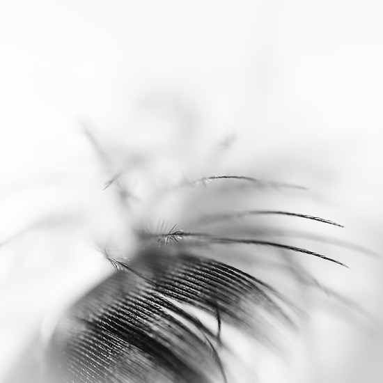 Feather abstract