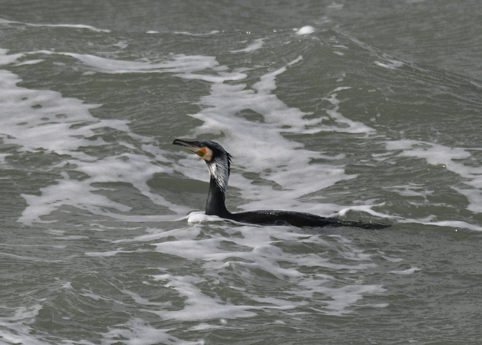 Aalscholver (Phalacrocorax carbo).