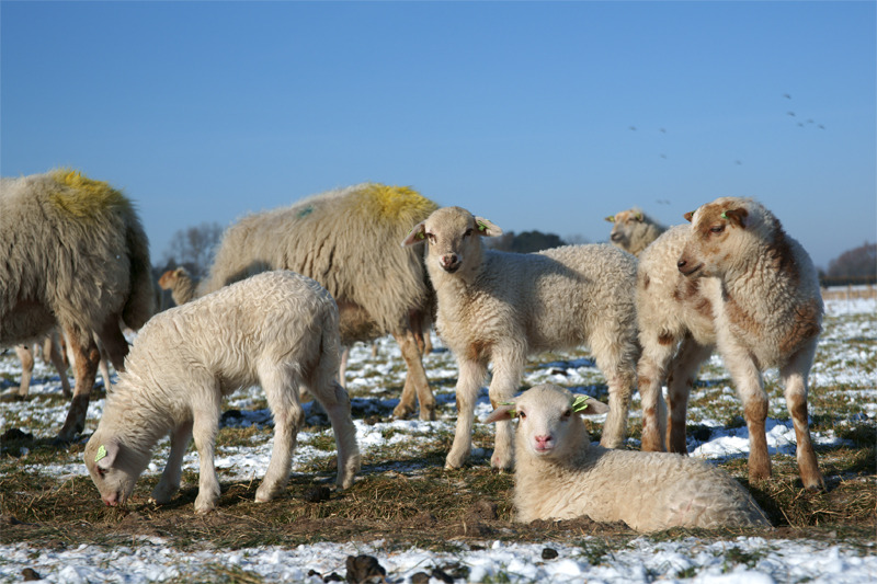 Lammetjes in de winterzon
