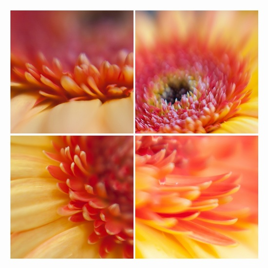 Gerbera (my way)- collage
