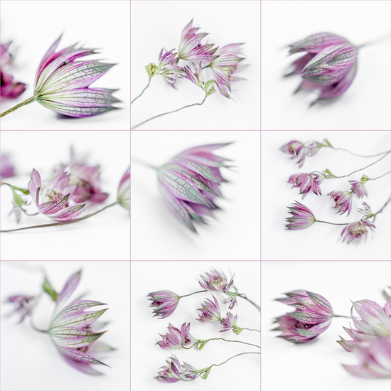 Astrantia Major - 1 (collage)