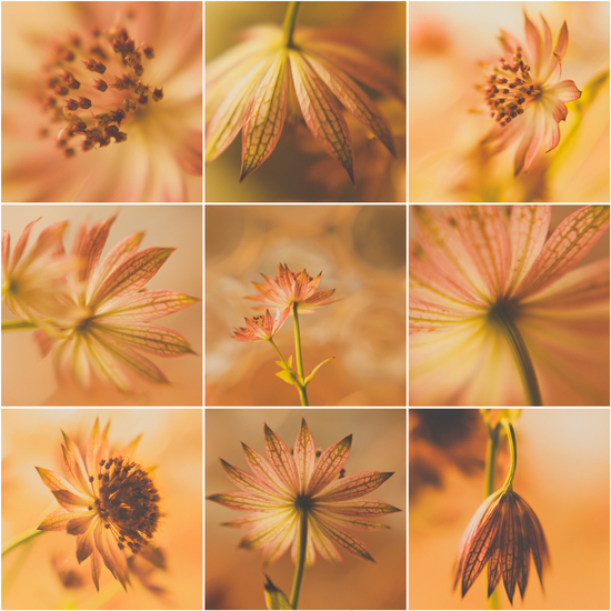 Astrantia Major - 2 (collage)