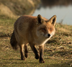De vos is een lid van de hondachtigen. De vos is een van de grootste roofdieren die nog vrij in Nederland voorkomen. The Fox is a member of the canidae. The Fox is one of the largest predators that is still available in Netherlands.