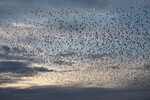 Starlings come together in very large groups around November